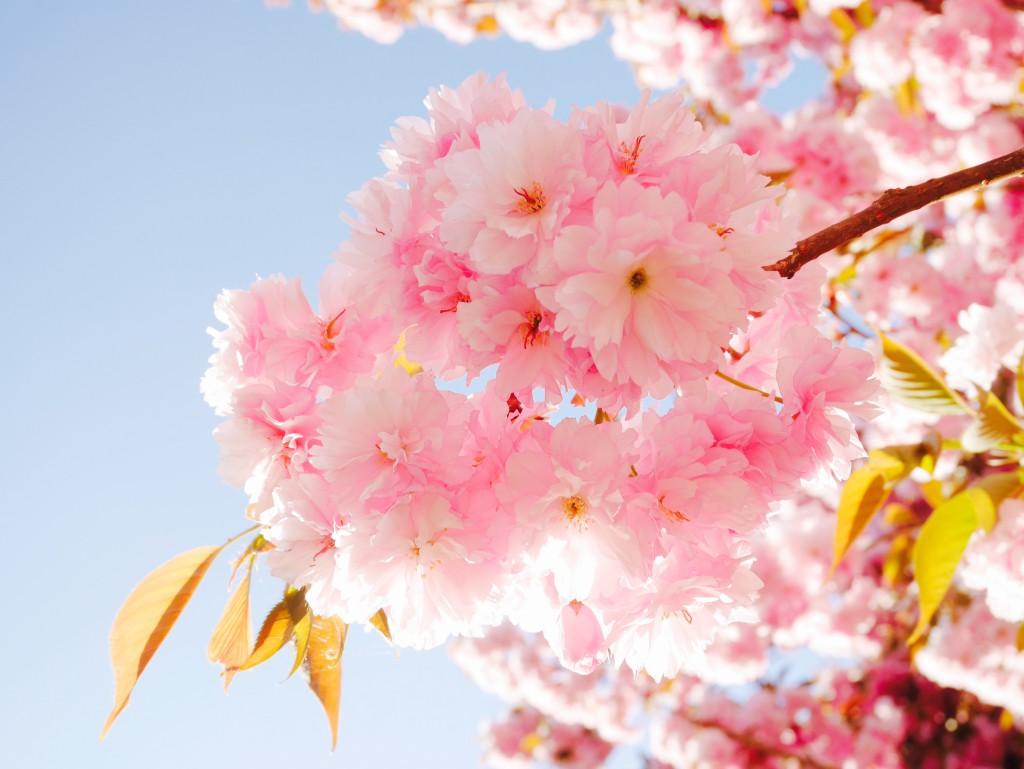 hanami cerisier rose