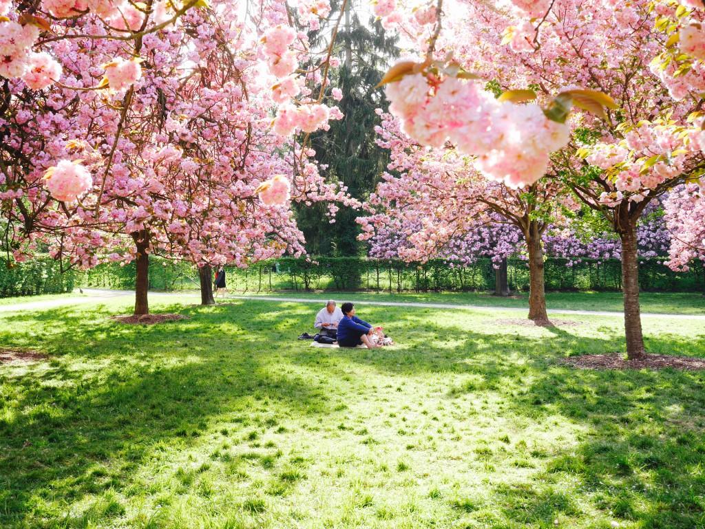Hanami sous les cerisiers