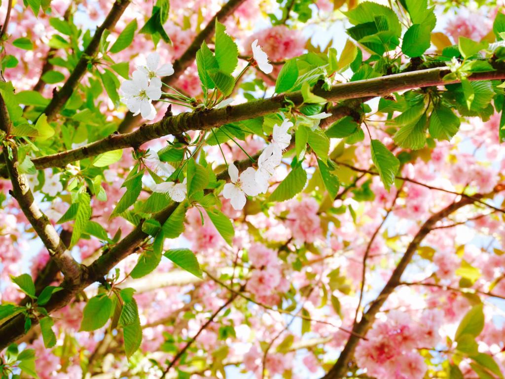 hanami parc de sceaux cerisier