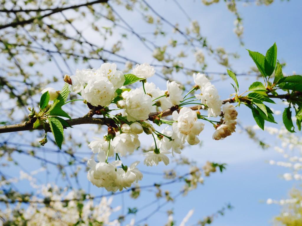 hanami cerisiers blancs