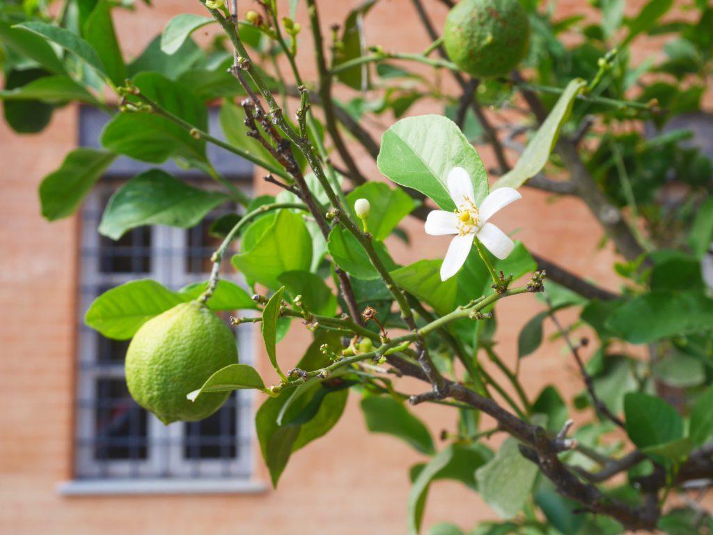 citronnier italie