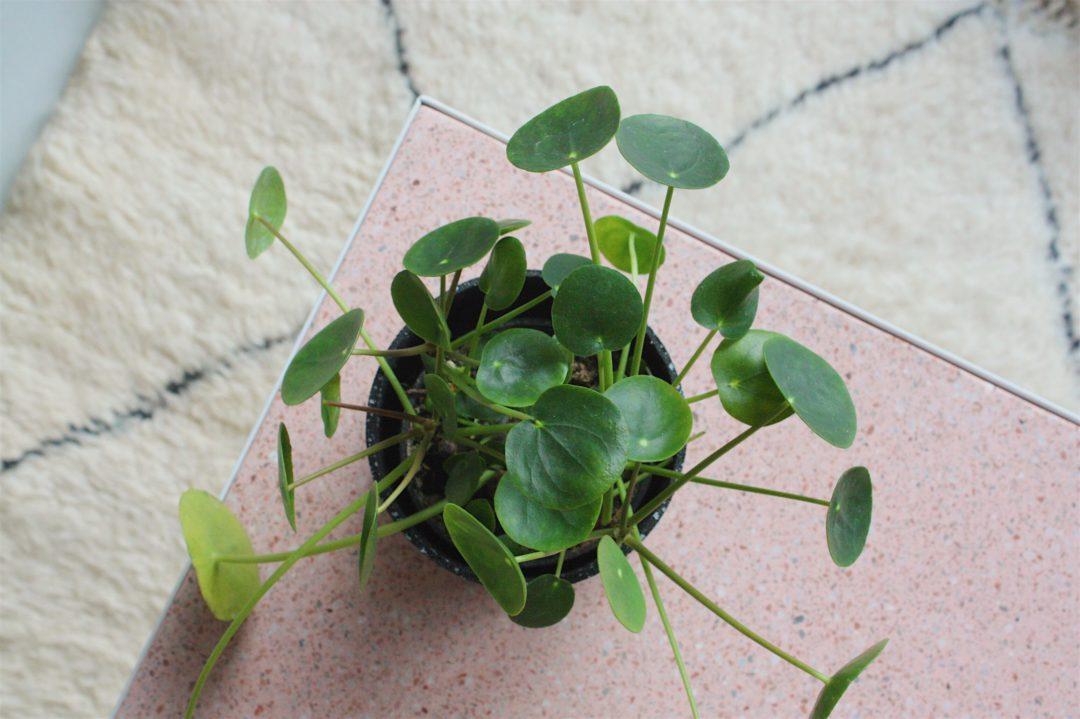 plante piléa déco